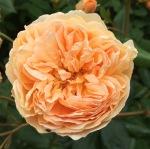 Inspiring Gardens – Nymans RoseGarden