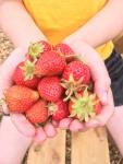 No Dig Allotment –Strawberries